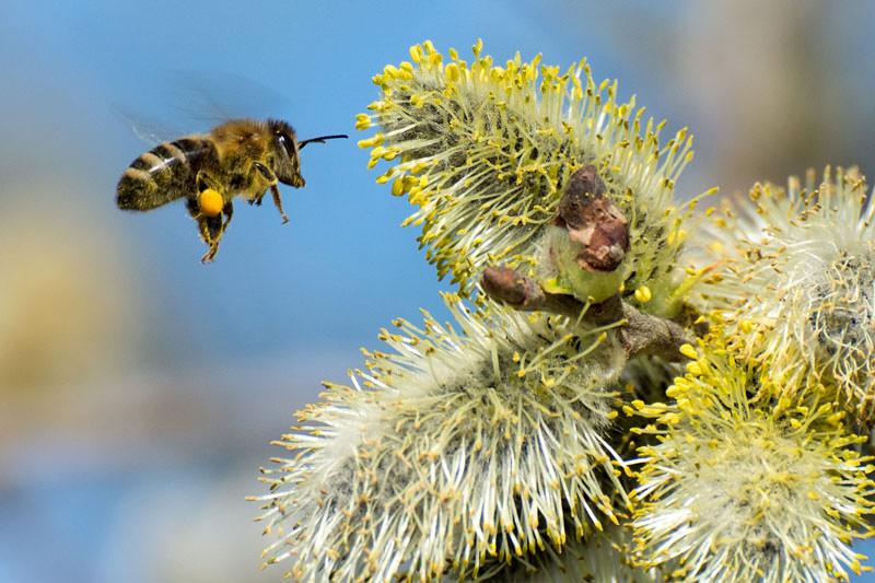 Biene an Salweide