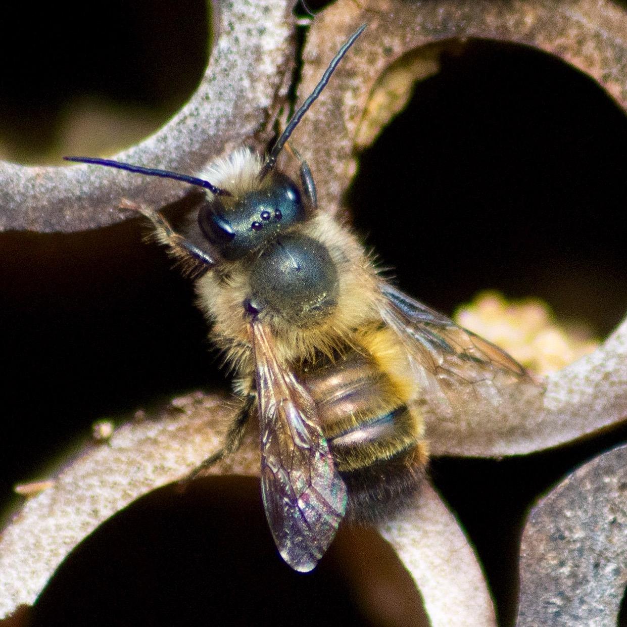 Wildbiene auf Nisthilfe